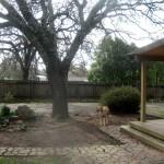 oak-tree-down-6